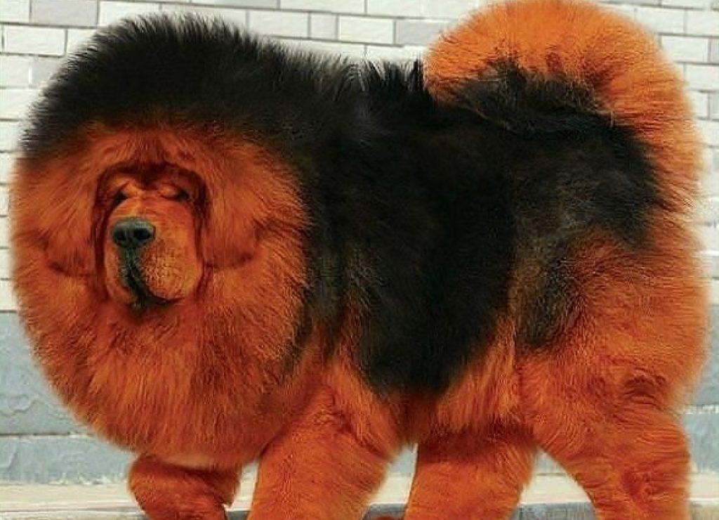 Tibetskiy-mastif
